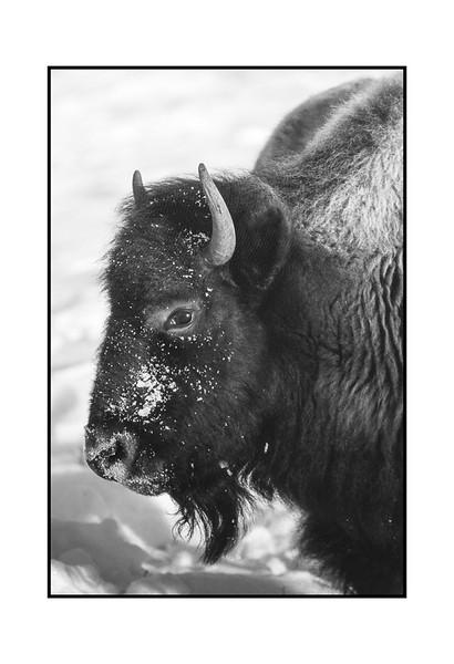 Bison in Winter (Print).jpg
