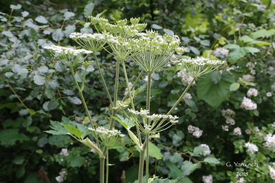 Common Cowparsnip