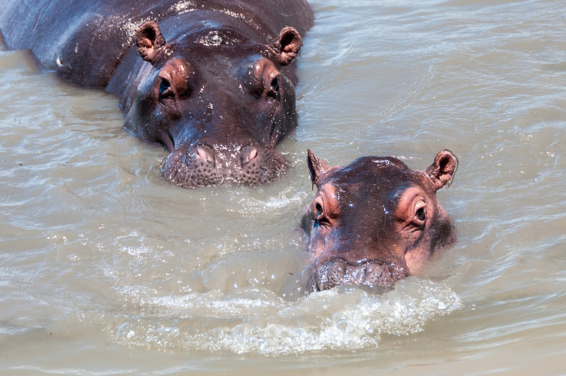 Hippos in iSimangaliso Wetland Park, South Africa