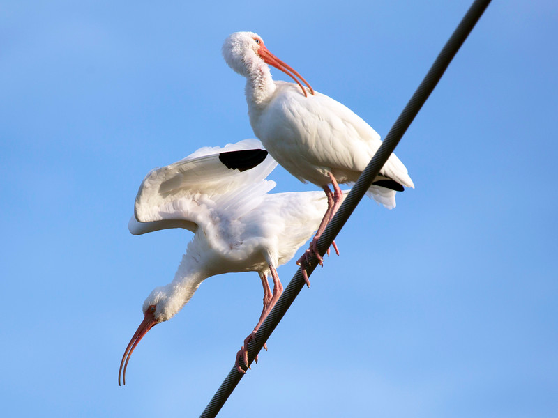 Two White Ibis on a cable across Brays Bayou