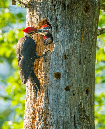Pileated Woodpecks