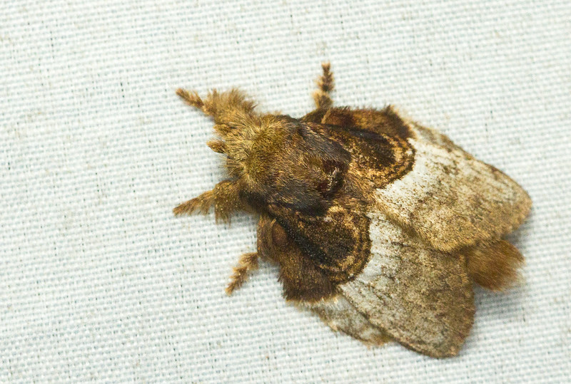 Lappet moth, Euglyphis sp. (Lasiocampidae) from Panama.