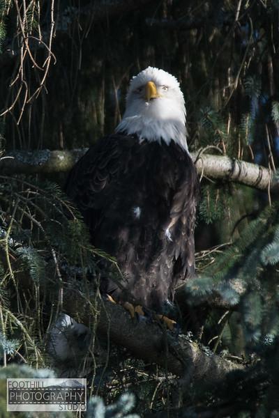 Eagle Sml-19.jpg