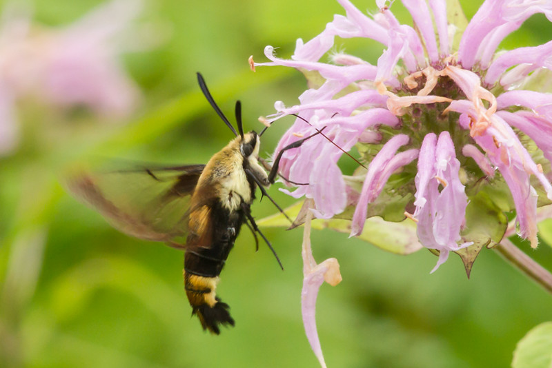Mitchell Memorial Hummingbird Moth (1 of 1).jpg