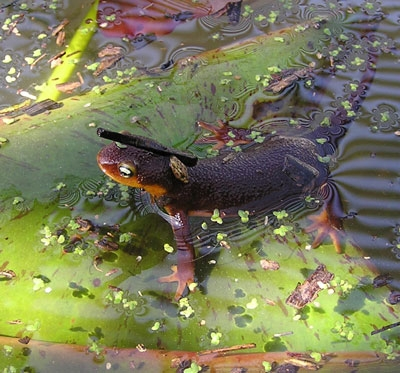 . A newt waits for some action. (Photo by Lauri Twitchell)