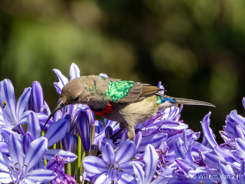Southern Double-Collared Sunbird (Cynniris chalybeus) from Kirstenbosch Botanical Gardens, Cape Town