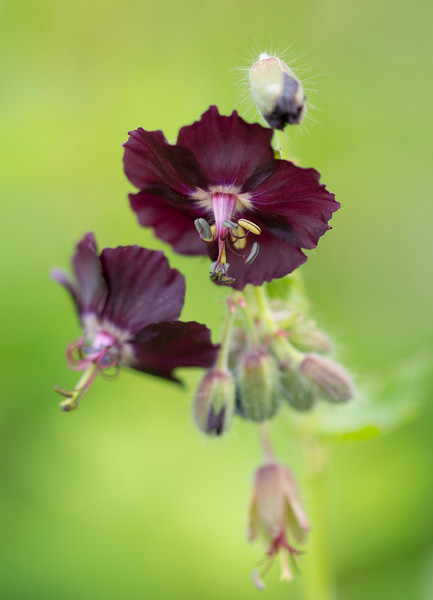 Maroon Alpine Flower.jpg