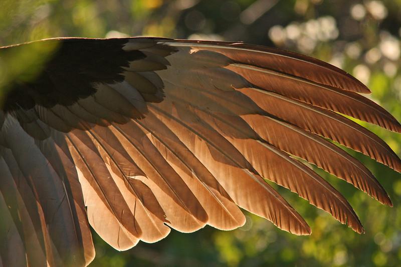 Vulture Display Muzzi's Marsh (Corte Madera)