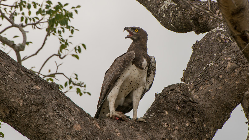 Martial Eagle,Polemaetus bellicosus, Kruger NP, South Africa.