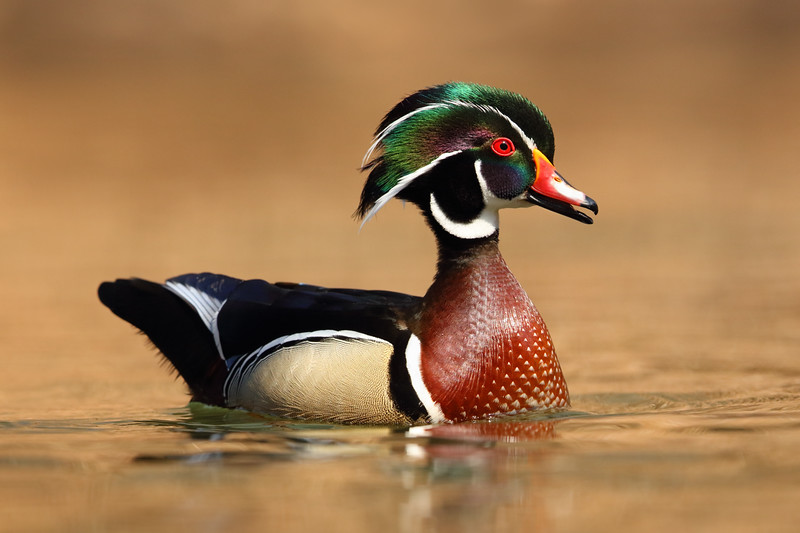 Wood Duck Drake Looking Sharp