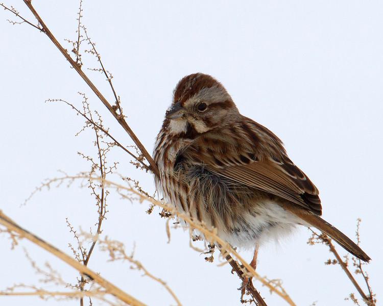 wasongsparrow2.jpg