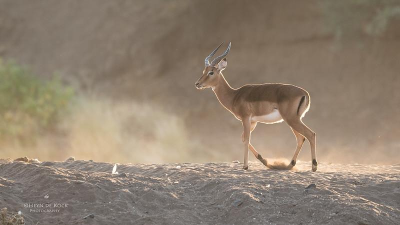 Impala, Mashatu GR, Botswana, May 2017-3.jpg