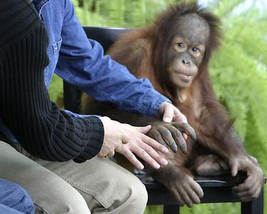 03-11-17 (Orangutan)
