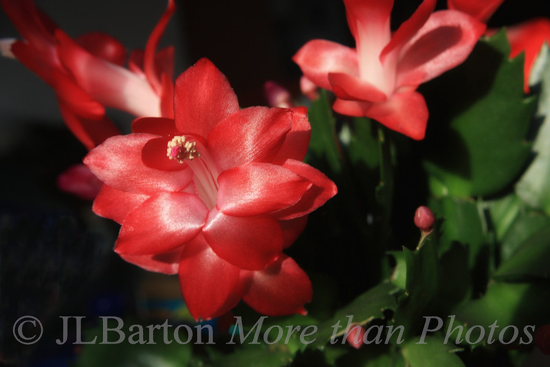 """Christmas Cactus 2010-11-26  Purchased a week ago, it is doing well on the dining room table.  Perhaps it should be renamed to """"advent cactus"""".  Enjoy the day!"""