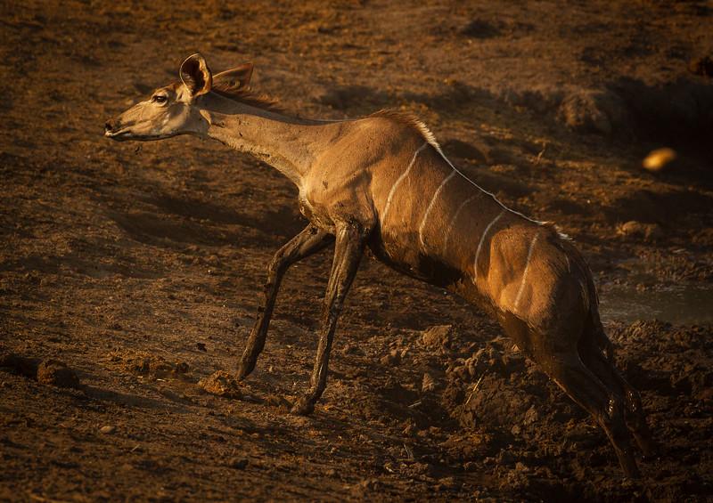 Kudu stuggle to escape 6