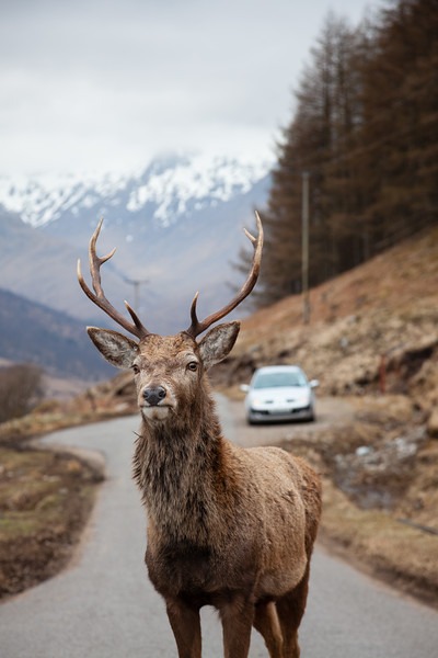 Glen Etive Red Deer stag