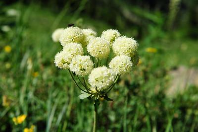 Montana Alpine Flowers
