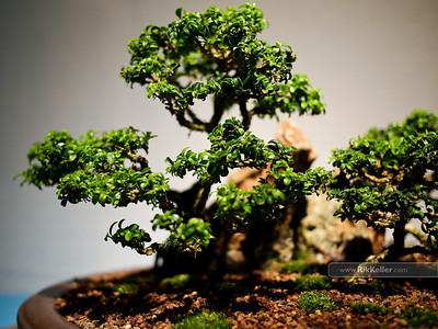 American Bonsai Association Annual Show 4-10-2011