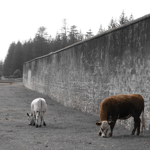 Cows outside the wall.jpg