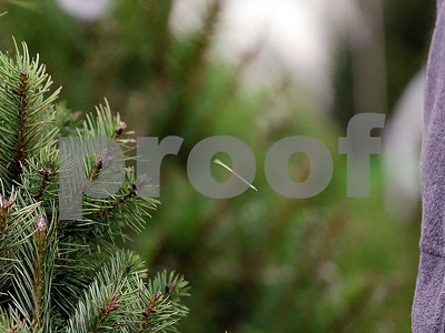 scientists-target-mess-from-christmas-tree-needles