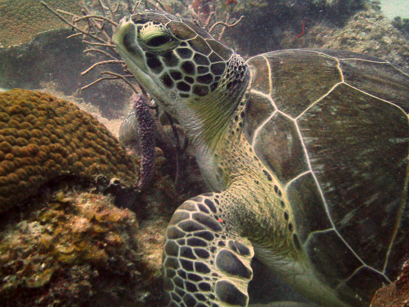"""""""G"""" is for Green Turtle, my favorite animal!  I'm in Aruba now and forgot to bring my cords to download from camera to my computer so found this one from St. Croix from years ago."""