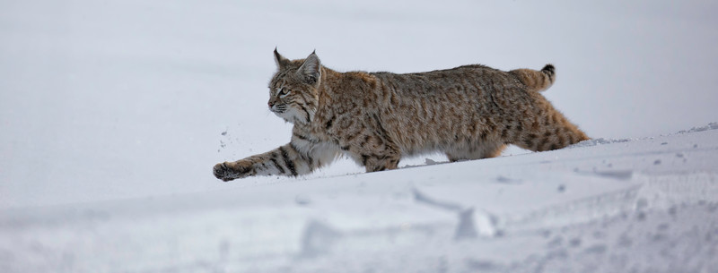 bobcat panoramic in snow.jpg