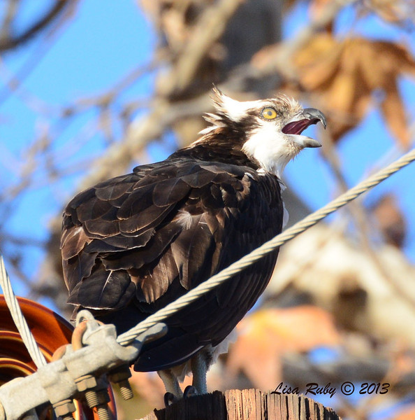 Osprey - 12/23/13 - Santee Lakes