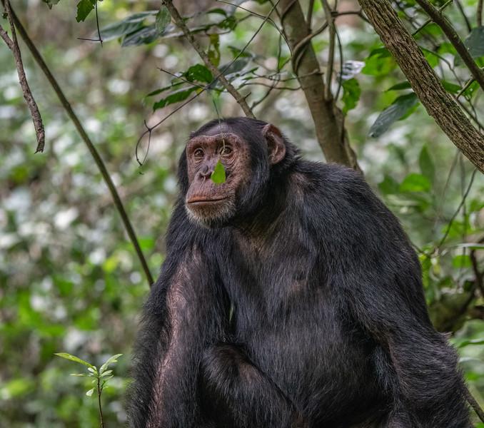 Uganda_T_Chimps-853.jpg