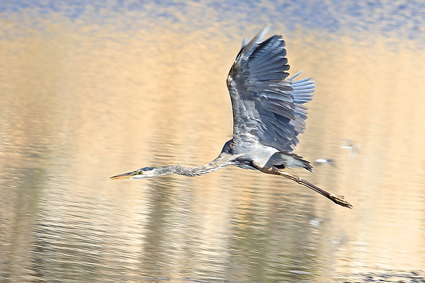 Great Blue Heron in flight at Point Reyes National Seashore