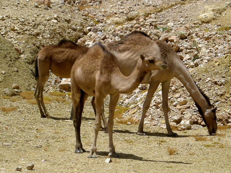 camels feeding in the Hadramout