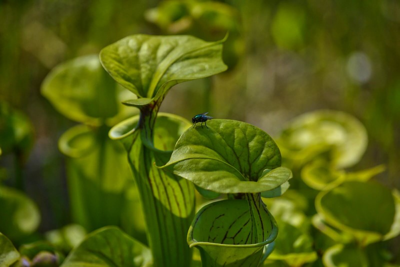 Housefly on a pitcher plant