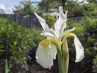 Iris sibirica 'Tunkhannock'.jpg