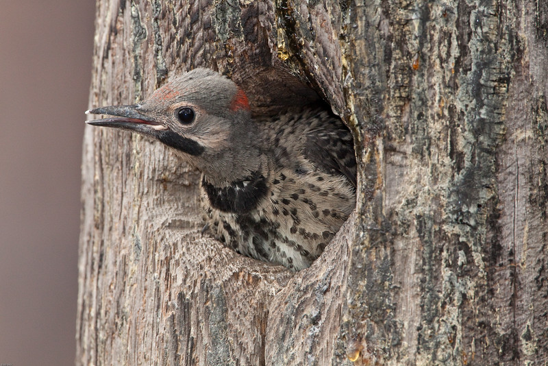 northern-flicker-about-to-fledge.jpg