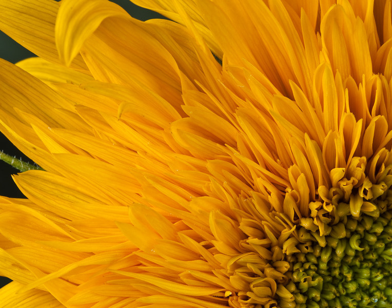 If_I_Were_a_Sunflower_2010.jpg