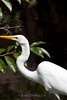 9428 Great Egrets fish in the shadows of the mangroves
