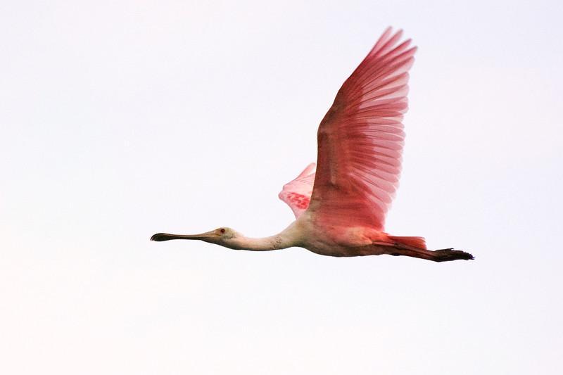 1_21_20 Roseate Spoonbill in flight.jpg
