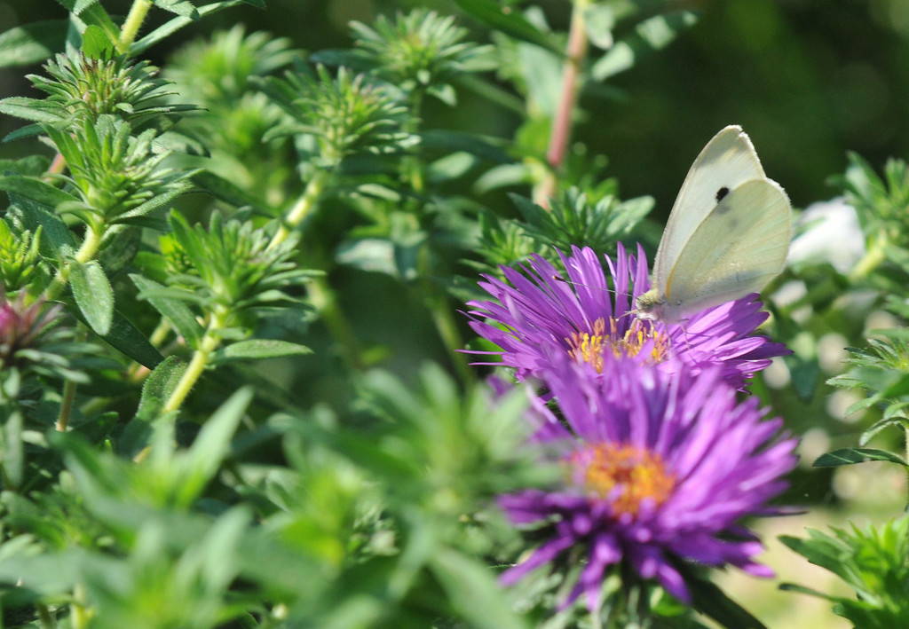 . PHOTO PETE BANNAN-A butterfly lands on a flower in the backyard of Terry Spadoni\'s West Chester row home.