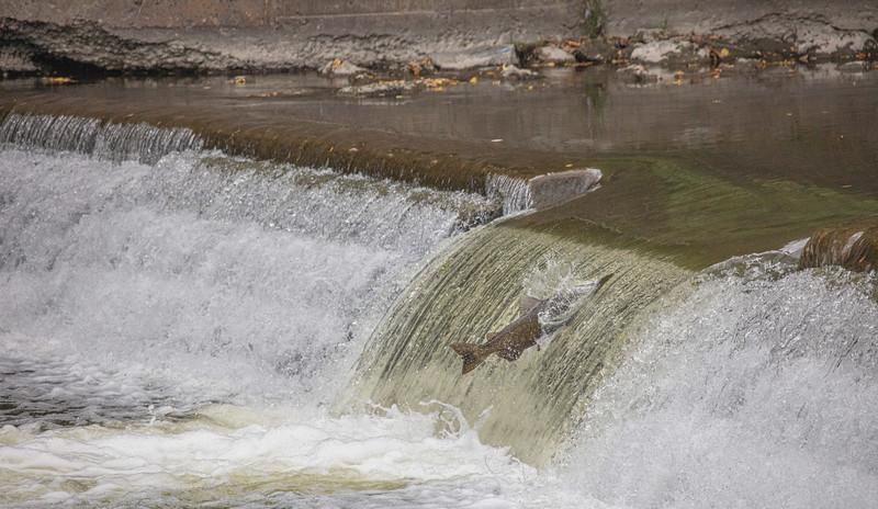 salmon upstream (13 of 48).jpg