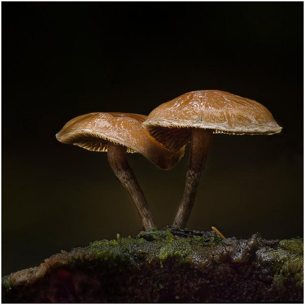 Cortinarius species in the rain