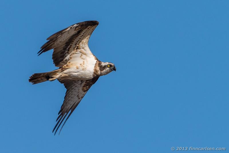 Fiskeørn (Osprey - Pandion haliaetus)