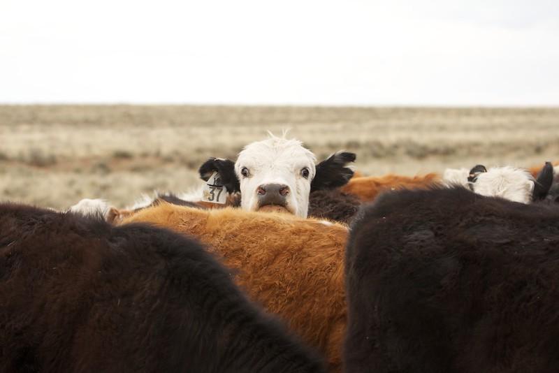 some cows I met 3.jpg