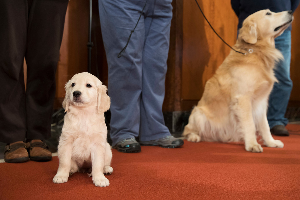 . Golden retrievers McKenzie, 8-weeks, left, and Blue pose for photographers during a news conference at the American Kennel Club headquarter, Wednesday, March 28, 2018, in New York. American Kennel Club rankings released in 2018 show golden retrievers are the third most popular purebred dog. (AP Photo/Mary Altaffer)