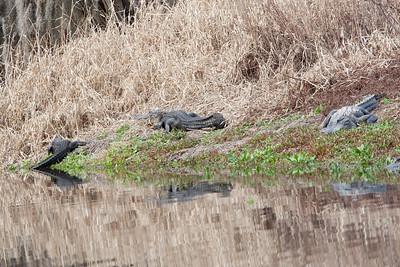 untitled20110203_Alligator MyakkaLakeFL_7I2B4668_11-02-03