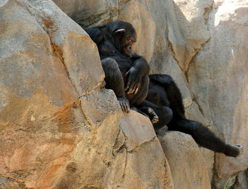 apes resting