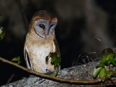 Ashy-faced Owl (Tyto glaucops) Pedernales, Dominican Republic, April 2015