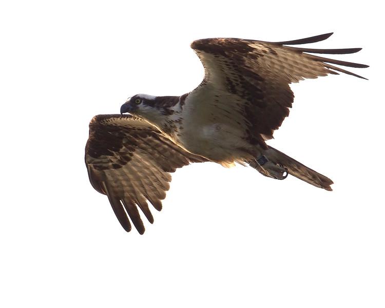 ospreyinflight-5-2012.jpg