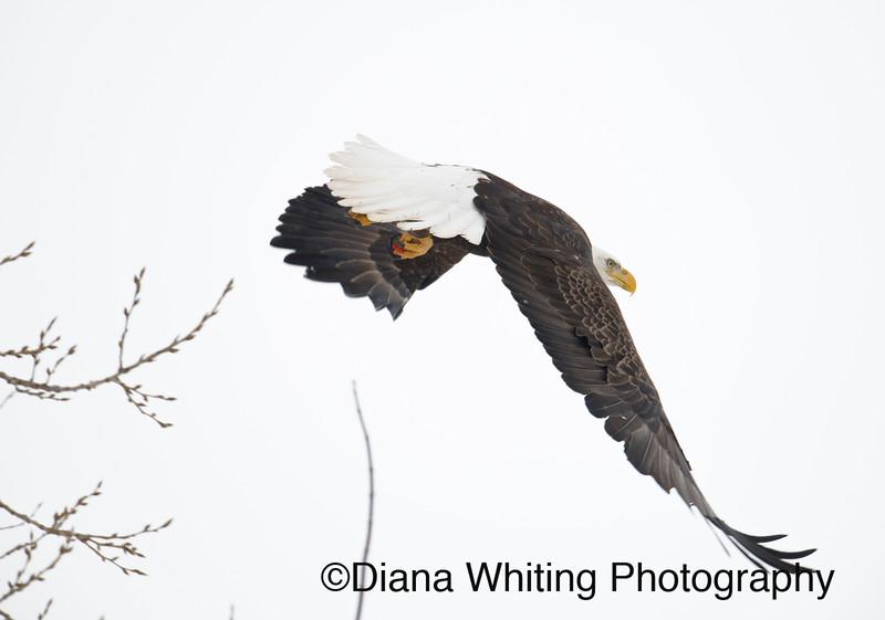 03_02_2019bald eagles_190 copy.jpg