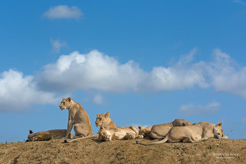 African Lion, Phinda, KZN, SA, Oct 2016-3.jpg
