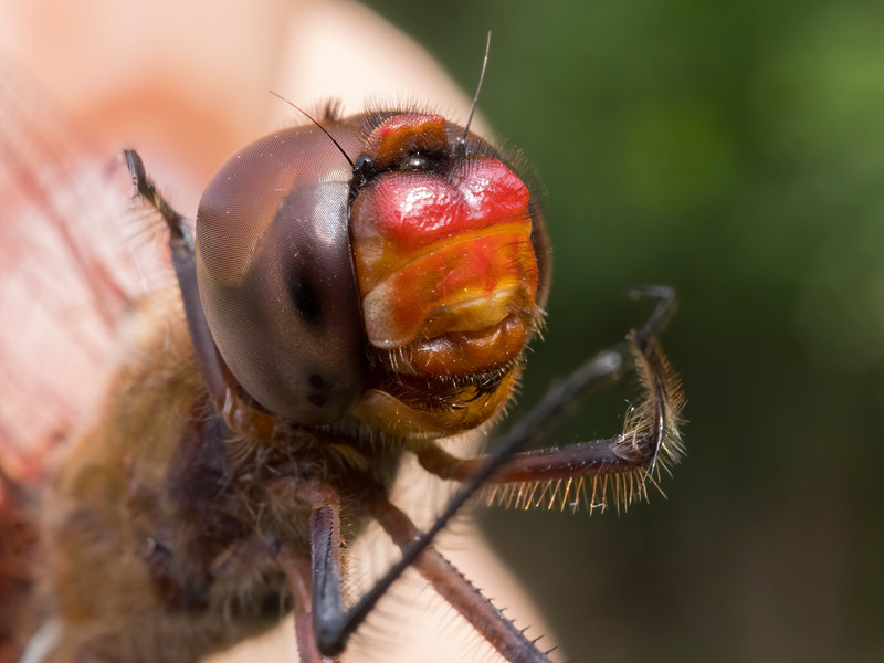 Red Saddlebags (Tramea onusta), male