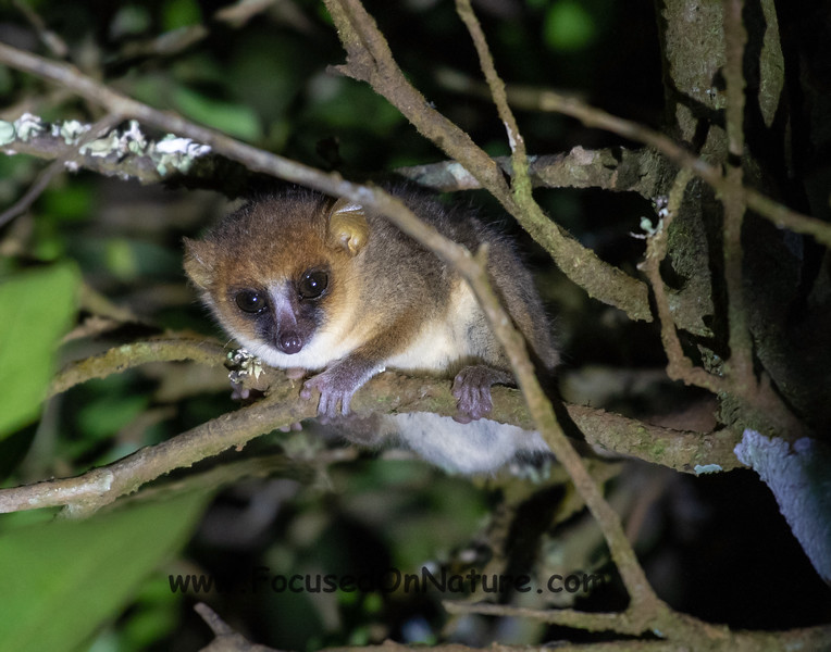 Amber Mountain Mouse Lemur